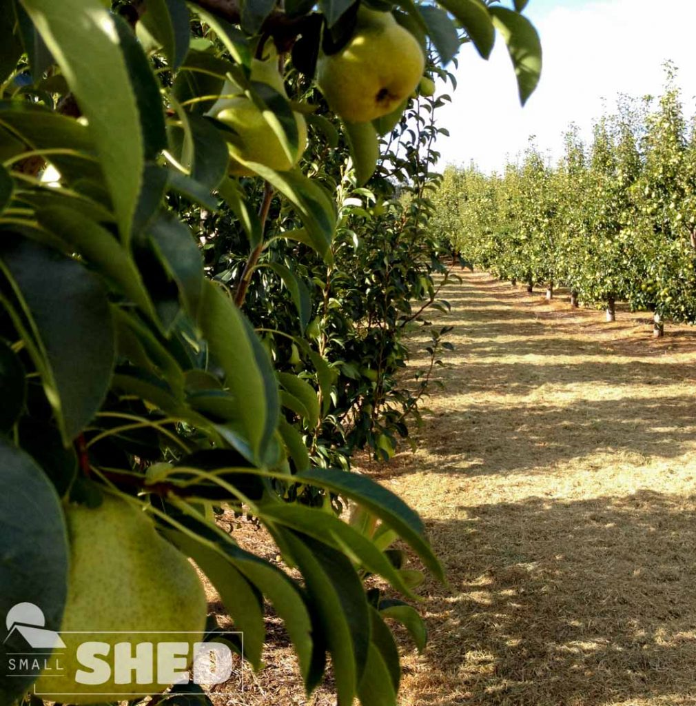 pears - pere - farm - australia
